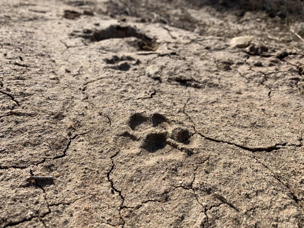 Bobcat footprint in Peñasquitos Canyon