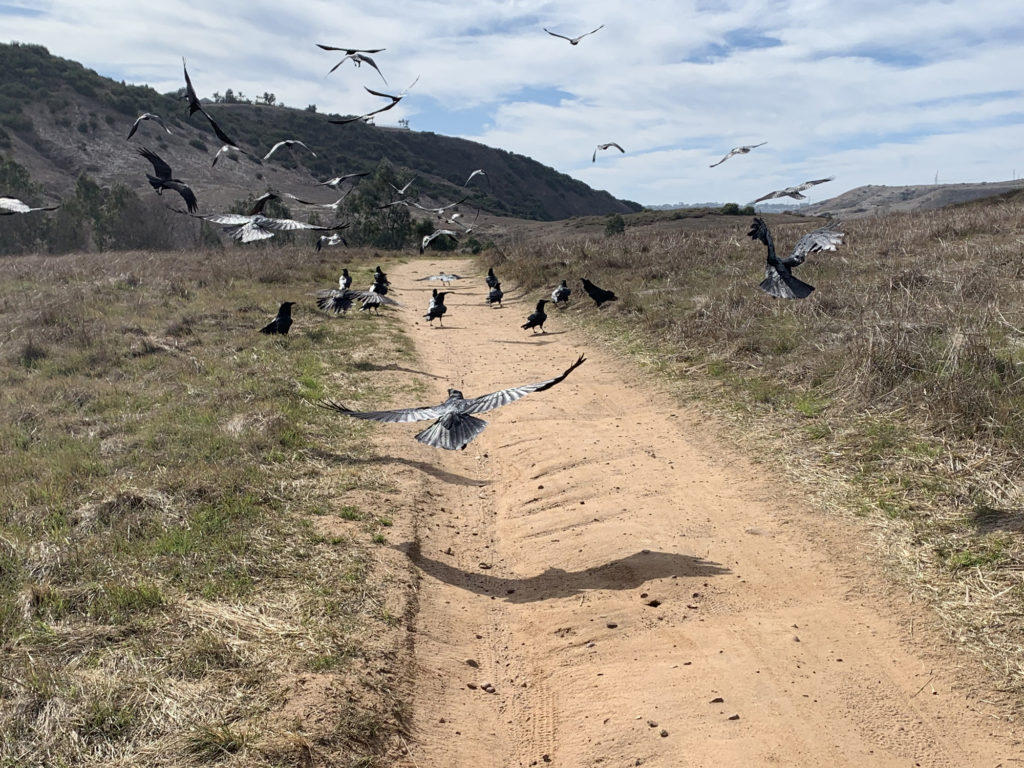 An unkindness in Peñasquitos Canyon
